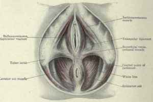 from http://chestofbooks.com/health/anatomy/Human-Body-Construction/The-Female-Perineum.html#.UWRdX6u4Hyc